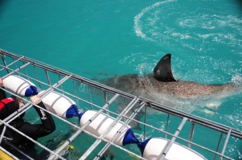 Great-White-Shark-at-Cage