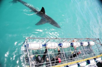 Great-White-Shark-infront-Cage