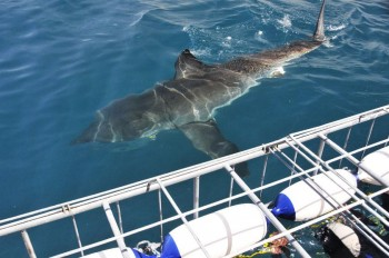 shark-cage-diving-01
