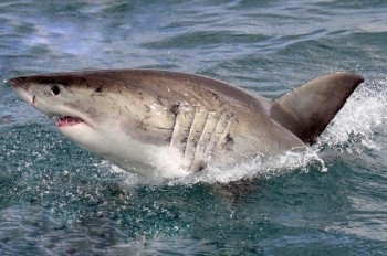 white-shark-cage-diving-01