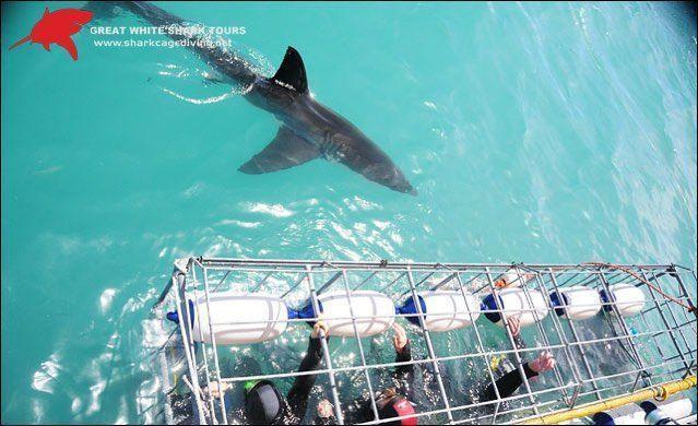 Shark Cage Diving Trip In Gansbaai South Africa