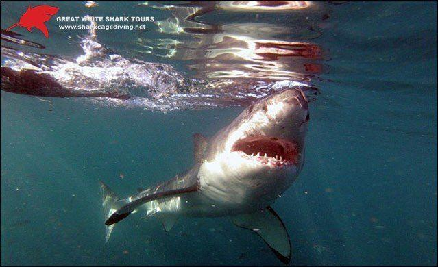 shark cage diving trip with great white shark tours