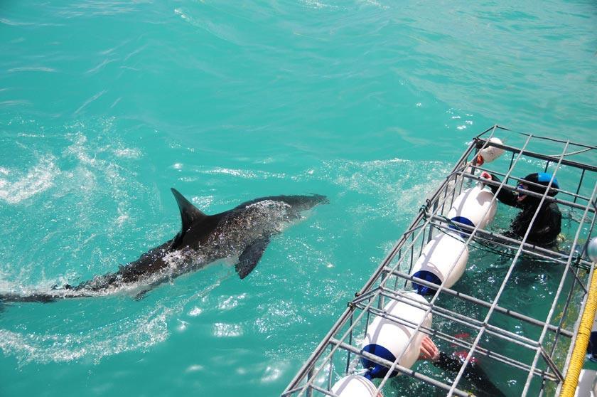 (c) Sharkcagediving.net