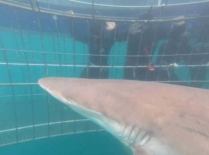 Under Water copper shark approach cage 30 Dec 19