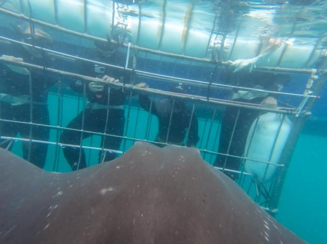 Under Water stingray approach cage 30 Dec 19