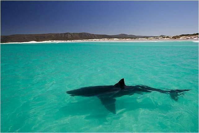 Shark in shallows credit Alison Towner DICT