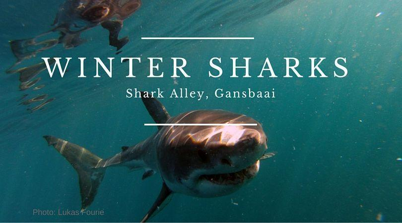 winter sharks in gansbaai
