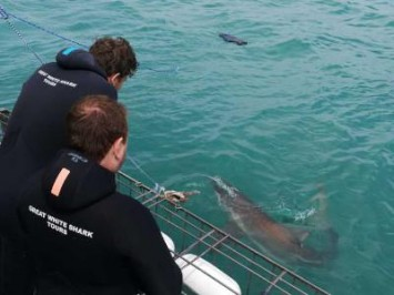 Daily Shark Cage Diving Blog - 13 October 2019