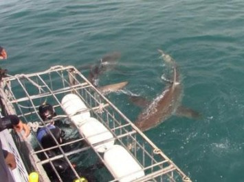 Daily Shark Cage Diving Blog 23 December 2019