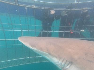 Daily Shark Cage Diving Blog 30 December 2019