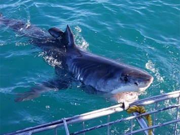 Daily Shark Cage Diving Blog 5 March 2020