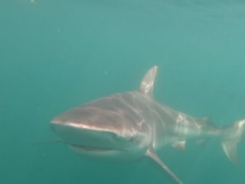 The day the first copper shark was sighted in Gansbaai