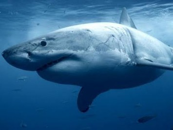 A great white shark called Nicole is finally coming home