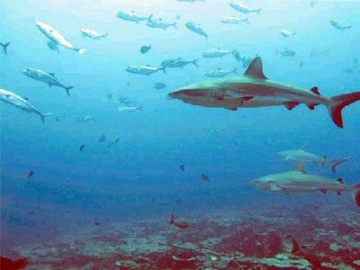 Reef Sharks have friends and even go out for a bite together.