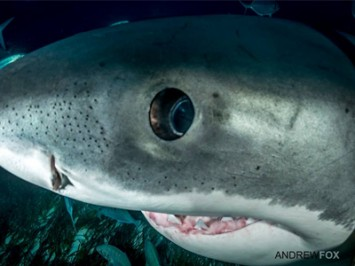 Can White Sharks see in murky water?