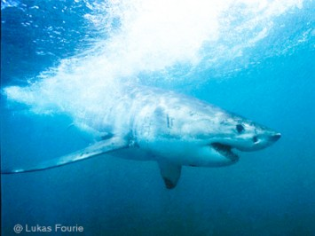 Can sharks flee from a hurricane?