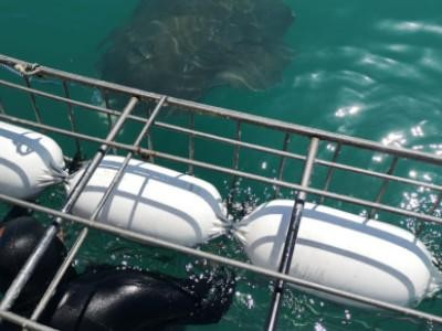 Daily Shark Cage Diving Blog - 12 October 2019