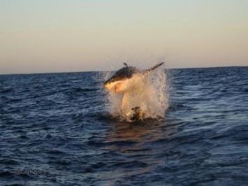 Winter White Shark Season in Gansbaai