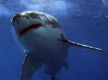 Why Are Great White Sharks Still a Mystery to Us?