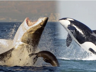 Why are sharks afraid of cute and playful dolphins ?