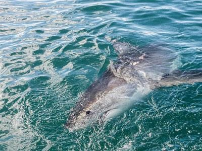 Daily Shark Cage Diving Blog 2 December 2019